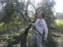 Agriturismo Nonna Cecilia: raccolta olive