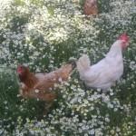 Agriturismo Nonna Cecilia: le nostre galline, allevate a terra